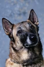 belgian malinois puppies for sale 2016 belgian malinois puppies and dogs for sale in usa