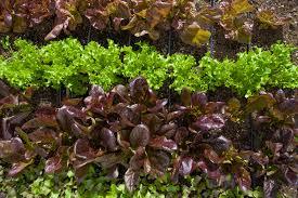 Herb Robert Pictures Getty Images Getty Salad Garden Robert Irwin The Getty Iris