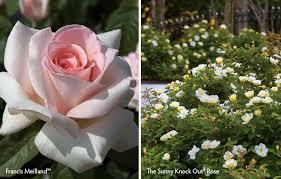 Fragrant Rose Plants - the fragrance of desire star roses u0026 plants