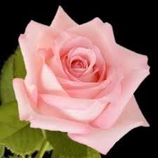 bulk roses bulk discount roses light pink