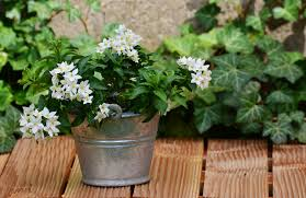 Fragrant Jasmine Plants For Sale Where To Buy White Jasmine Plants Best Smelling Plant Grow The