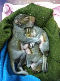 baby squirrels the wildlife center of virginia