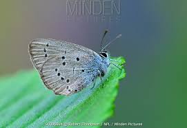 minden pictures stock photos small blue butterfly cupido minimus