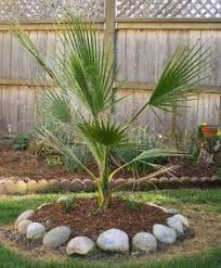mexican fan palm growth rate hooked on palms