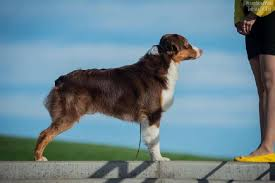 runnin c australian shepherds australian shepherd great bear von grizzly style id 15951