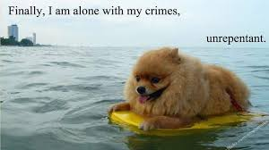 Pomeranian Meme - meme crop tumblr
