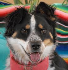australian shepherd cattle dog mix 96 best australian cattle dogs mixes images on pinterest funny