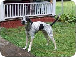 bluetick coonhound kennels in pa cookie adopted dog bloomsburg pa bluetick coonhound jack
