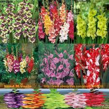 Gladiolus Flowers 2017 6 Type 20 Seeds Pack Different Colors Gladiolus Flower Seeds