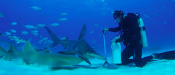 shark week how to prep great hammerheads for an underwater