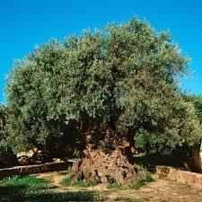 the olive tree of abraham gnosticwarrior com