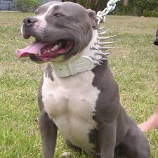 american pitbull terrier dog images 19 best american pit bull terrier images on pinterest american