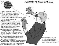 Describe A Reflex Action Experiment How Fast Your Brain Reacts To Stimuli