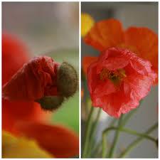 flower focus iceland poppy primer floret flowers