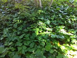 persian ivy evergreen vine self climbing or ground cover 3