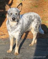 boxer x red cattle dog australian cattle dog breed information and pictures