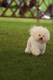 wszystko o bichon frise bichon frise hodowla psów rasowych mi dulce nube fci home facebook