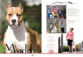 american pitbull terrier kennels usa amstaff sbigstaff american staffordshire terrier kennel