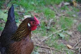 four poultry pitfalls to avoid community chickens