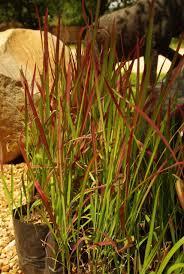 imperata cylindrica baron grow