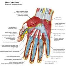 Bicep Innervation All The Muscles Of The Body O I Action Innervation Arterial