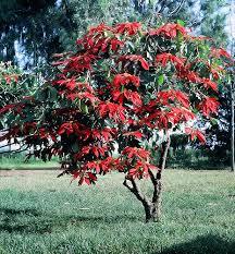poinsettia tree poinsettia tree poinsettia tree poinsettia and evergreen