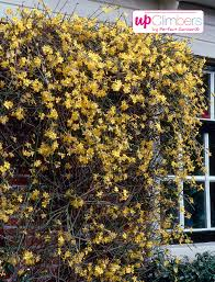 winter jasmine jasminum nudiflorum my perfect garden
