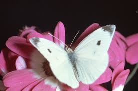 cabbage moth cabbage butterfly yates