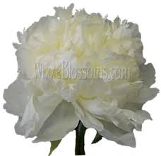 bulk peonies order bulk white peony flower for wedding at wholesale price