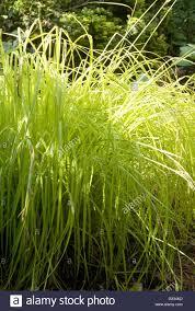 carex elata aurea gold sedge ornamental grass stock photo
