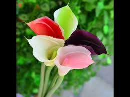 Image Of Calla Lily Flower - amazing and most beautiful calla lily flowers images youtube