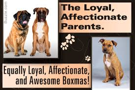 boxer dog disposition all you need to know but don u0027t about the boxer mastiff mix breed