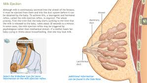 Anatomy And Physiology Glossary A D A M Ondemand Anatomy And Physiology Of The Breast