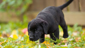 are labs good dogs and is a labrador the right dog for me