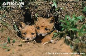 sleeping red fox wallpapers red fox photo vulpes vulpes a9683 arkive
