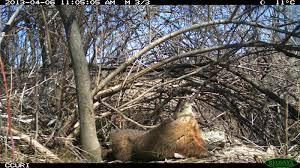 rawr groundhog yawning oc imgur