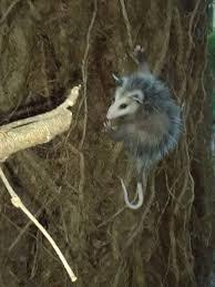 Possum In My Backyard Easy Ways To Get Rid Of Possums Wikihow