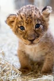 Baby Lion Costume Best 25 Baby Lions Ideas On Pinterest Wild Animals Photos Lion