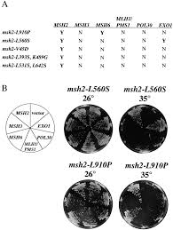 exo1 and msh6 are high copy suppressors of conditional mutations