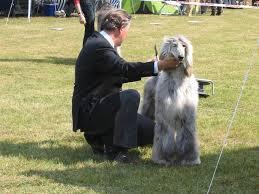afghan hound national 2014 national dog show in genselkirchen germany 11 06 2011 u2013 three