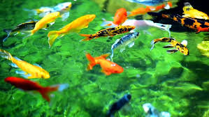 colorful ornamental fish stock footage 23483281