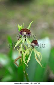 Black Orchid Flower Black Orchid Stock Photos U0026 Black Orchid Stock Images Alamy