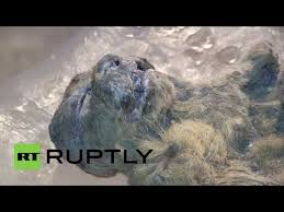 russian scientists unearth perfectly preserved cave lion cubs