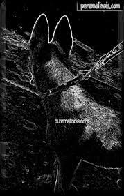 belgian shepherd malinois pronunciation 117 best mals images on pinterest german shepherds belgium