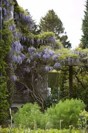 diy train a wisteria vine not to eat the house gardenista