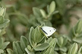 peas need lime u0026 deterring white butterfly burke u0027s backyard