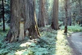 preparing the spot for a cedar tree home guides sf gate