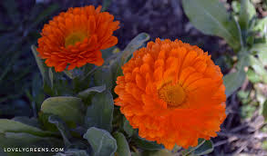 calendula flowers using calendula flowers in beauty cooking lovely greens