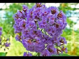 statice flowers statice flowers