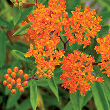 native plants for butterflies native american plants species and cultivars